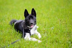 Puppy Laika on the grass stock photo