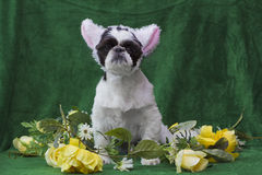 Puppy in lamb ears. Royalty Free Stock Photo