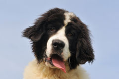 Puppy landseer Stock Photos