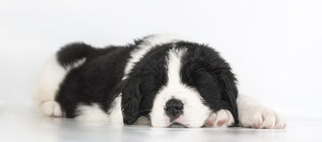 Puppy landseer dog Royalty Free Stock Images