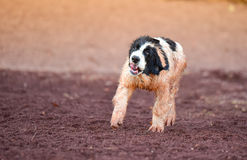 Puppy landseer dog Stock Images