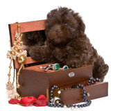 Puppy lapdog with a necklace. In studio Royalty Free Stock Images