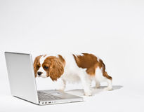 Puppy with laptop computer. Curious dog peering at laptop stock images