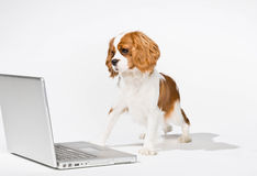Puppy with laptop computer. Curious dog peering at laptop royalty free stock photo
