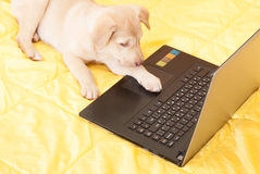 Puppy and  laptop Royalty Free Stock Images