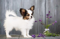 Puppy with lavender Royalty Free Stock Images