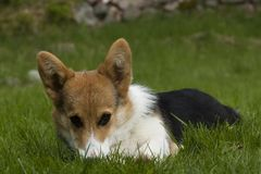 Puppy on lawn. Welsh corgi puppy on lawn Royalty Free Stock Photo