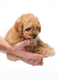 Puppy lay on human hands Stock Photos