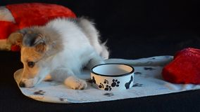 Puppy lay next to an empty bowl, on a black background. stock footage