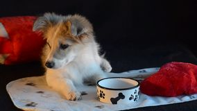 Puppy lay next to an empty bowl, on a black background. The puppy lay next to an empty bowl and ate everything. Black background and heart pillow stock footage
