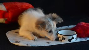Puppy lay next to an empty bowl, on a black background. The puppy lay next to the empty bowl, ate it and wants more. Black background and heart pillow stock video
