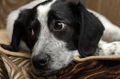 The puppy lay a sad, close-up Stock Photography