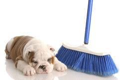 Puppy laying beside a broom Stock Photography