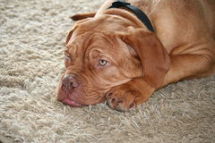 Puppy laying on carpet. Dogue de bordeaux puppy laying on the carpet Stock Image