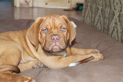 Puppy laying on dog bed. A dogue de bordeaux puppy laying on dog bed with bone Royalty Free Stock Photos