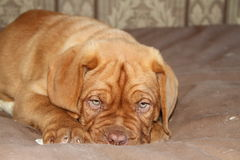 Puppy laying on his bed. Dogue de bordeaux puppy laying on bed Royalty Free Stock Images