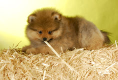 Puppy laying on straw bale. Adorable pomeranian puppy laying on bale of straw with yellow background Stock Image