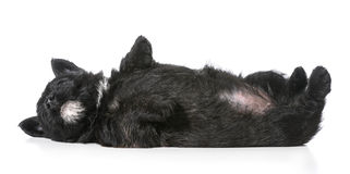 Puppy laying upside down on back Stock Image