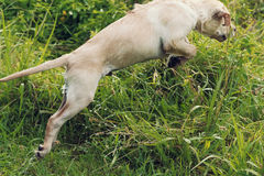 Puppy Leaps and Jumps Through Long Grass Royalty Free Stock Photos