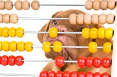 Puppy learning to count. Cute Puppy Learning to Count with Abacus Royalty Free Stock Images