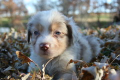 Puppy in Leaves Stock Photography