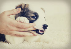 Puppy licks hand Royalty Free Stock Image