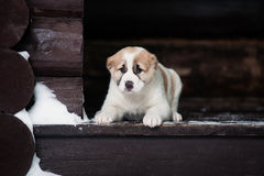 Puppy lies on the doorstep Stock Image