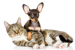 The puppy lies on a striped cat.looking at camera. Isolated on white Royalty Free Stock Images
