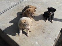 puppy in lijn Royalty-vrije Stock Afbeelding