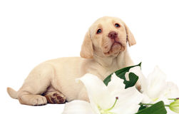 Puppy with a lily. Puppy Labrador with a lily on a white background. Portrait of puppy with a white flower Royalty Free Stock Image