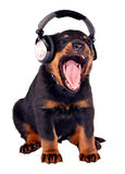 Puppy listening to music. Little dog with black headphones Stock Images