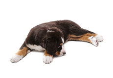 Puppy. Little puppy of bernese mountain dog lying on white background Royalty Free Stock Photo