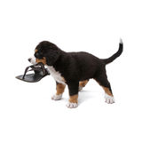 Puppy. Little puppy of bernese mountain dog playing with shoe on white background Royalty Free Stock Images