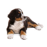 Puppy. Little puppy of bernese mountain dog on white background Stock Photography