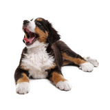 Puppy. Little puppy of bernese mountain dog on white background Royalty Free Stock Photos
