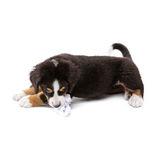 Puppy. Little puppy of bernese mountain dog on white background Stock Photos