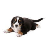 Puppy. Little puppy of bernese mountain dog on white background Royalty Free Stock Photography