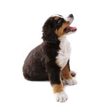Puppy. Little puppy of bernese mountain dog on white background Stock Images