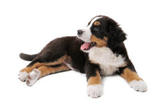 Puppy. Little puppy of bernese mountain dog on white background Royalty Free Stock Photo