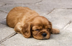 Puppy Royalty Free Stock Image