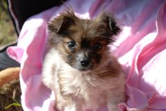 A puppy. A little cute hairy puppy sitting on a pink blanket and looking into a camera Royalty Free Stock Photos