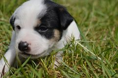 Puppy. Little puppy on the grass Stock Photography