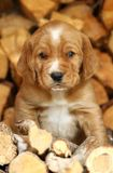 Puppy in logs. Small adorable puppy in logs sitting Royalty Free Stock Photos