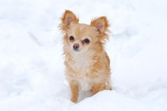 Puppy long-haired chihuahua Stock Photo