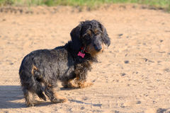 Puppy of a long-haired dachshund. On a sandy path stock images