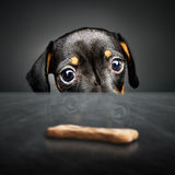 Puppy longing for a treat stock images