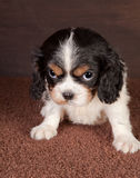 Puppy look Royalty Free Stock Photo