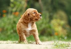 Puppy looking Stock Photography
