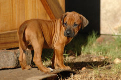 Puppy looking back. A cute inactive young Rhodesian Ridgeback hound puppy dog head portrait with cute expression in the pretty face watching the garden looking Stock Images