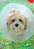 Puppy looking at the camera in a plastic cone collar Stock Images